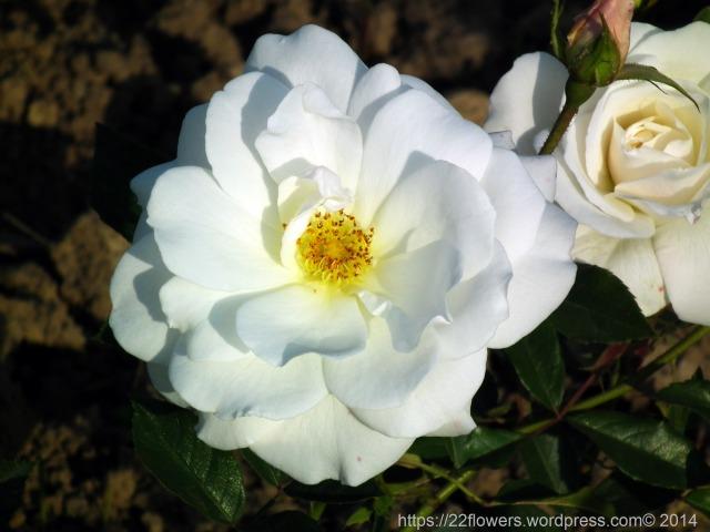 Rose-Flowers-183.jpg