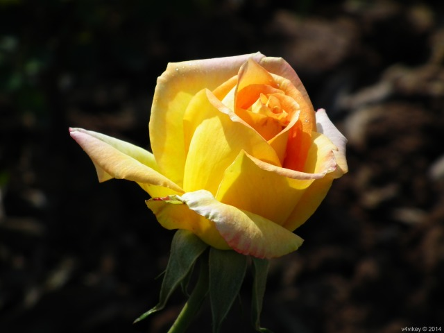 Yellow Color single Rose flower